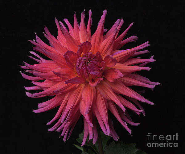 Photograph - Dahlia 'hollyhill Elektra' by Ann Jacobson
