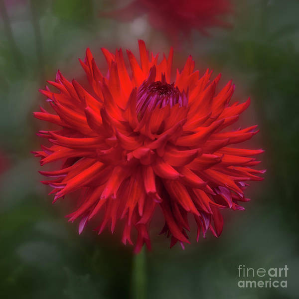 Photograph - Dahlia 'hollyhill Miss Scarlet' by Ann Jacobson