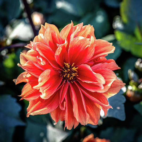 Photograph - Dahlia In Bloom by Randy Scherkenbach