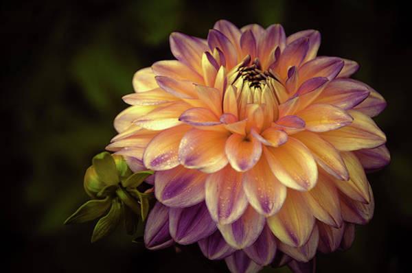 Photograph - Dahlia In Peach And Lavender by Julie Palencia