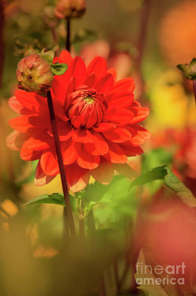 Photograph - Dahlia In The Garden by Heiko Koehrer-Wagner