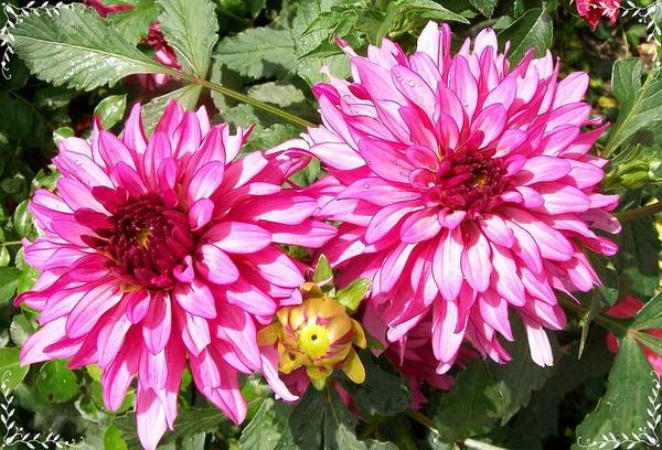 Photograph - Dahlia In The Pink  by Sharon Duguay