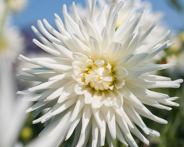 Photograph - Dahlia by Miguel Winterpacht