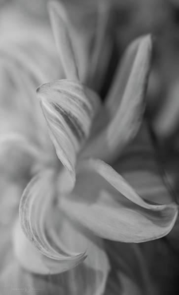 Photograph - Dahlia Monochrome  by Teresa Wilson