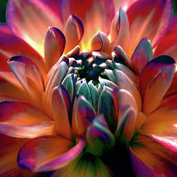 Photograph - Dahlia Multi Colored Squared by Julie Palencia