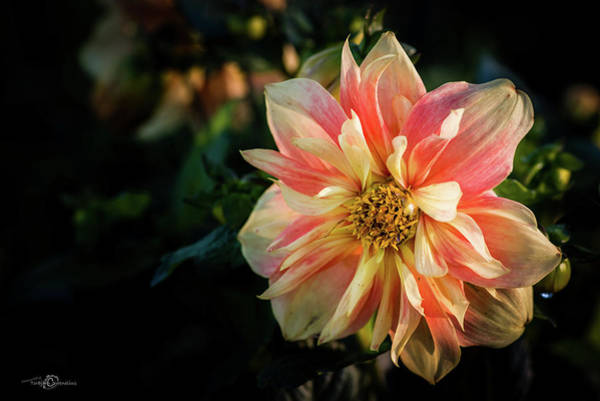 Photograph - Dahlia Named Apple Blossom by Torbjorn Swenelius
