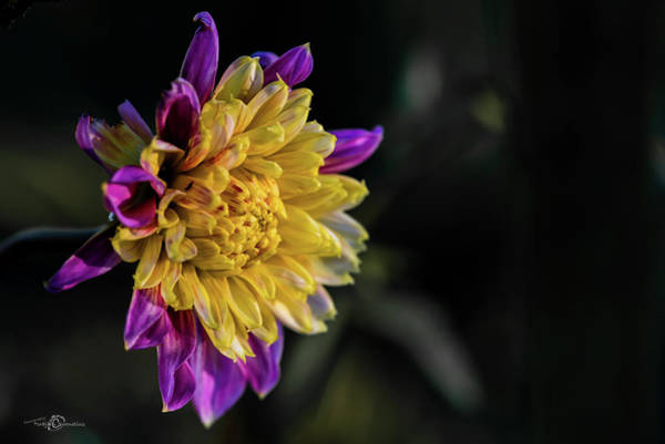 Photograph - Dahlia Named Boogie Woogie by Torbjorn Swenelius