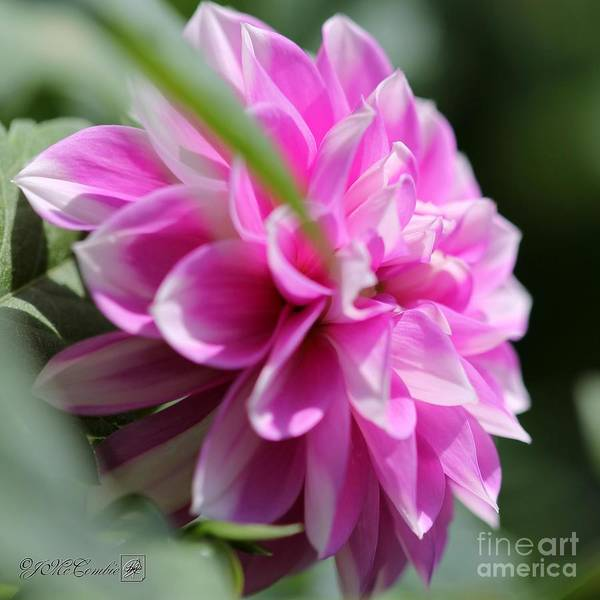 Wall Art - Photograph - Dahlia Named Priceless Pink by J McCombie
