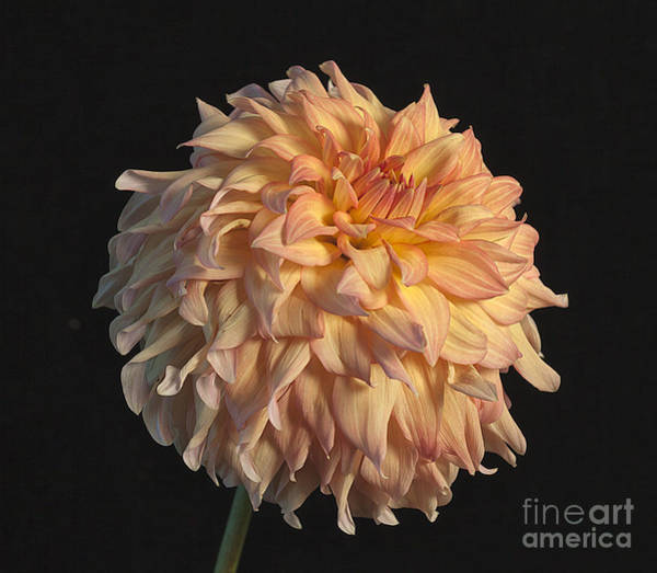 Photograph - Dahlia 'newaukum Honey' by Ann Jacobson