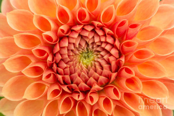 Photograph - Dahlia Oakwood Naranga by Tim Gainey