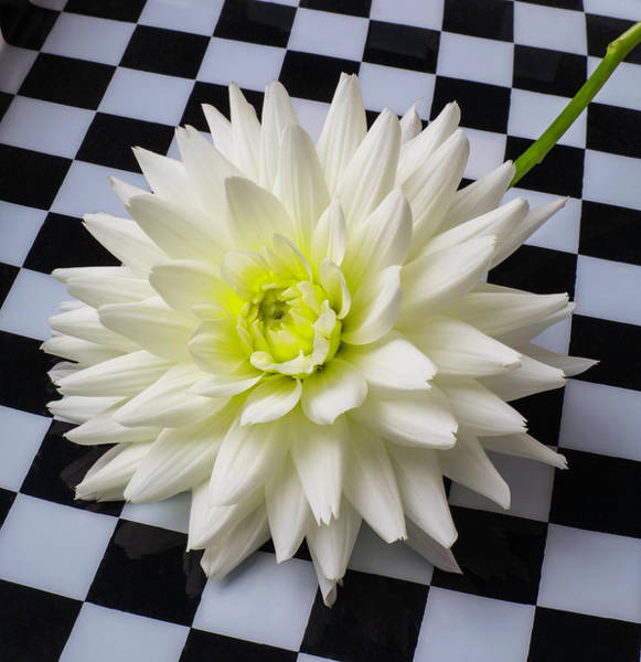 Wall Art - Photograph - Dahlia On Checker Background by Garry Gay