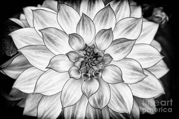Wall Art - Photograph - Dahlia Oriental Dream Monochrome by Tim Gainey