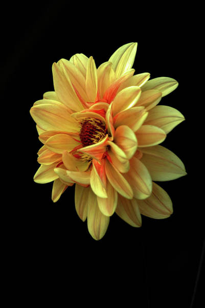 Photograph - Dahlia by Patricia Cale