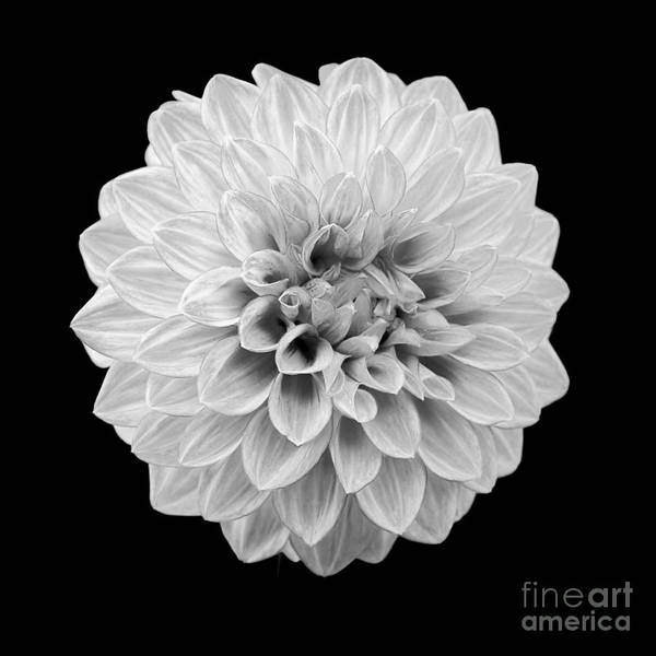 Photograph - Dahlia by Patrick M Lynch