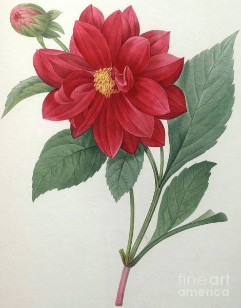 Wall Art - Painting - Dahlia by Pierre Joseph Redoute