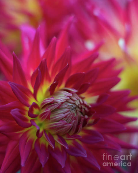 Wall Art - Photograph - Dahlia Red Radiance by Mike Reid