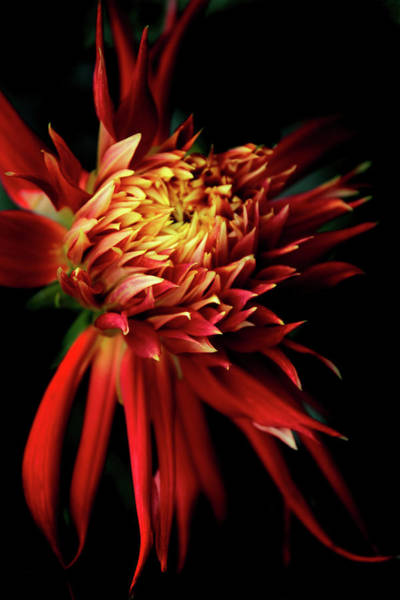 Photograph - Dahlia Show And Tell by Jessica Jenney