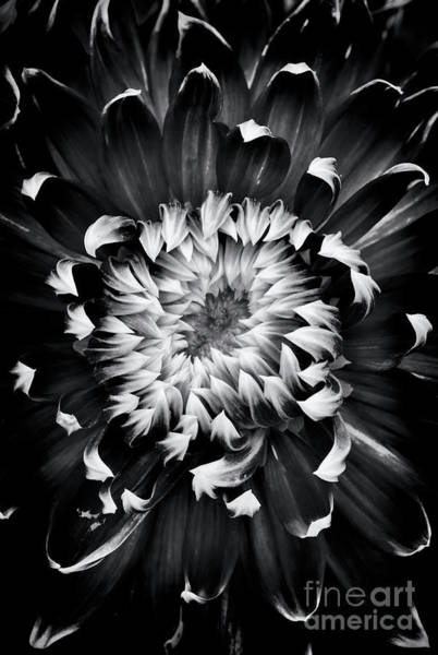 Photograph - Dahlia Spiral by Tim Gainey