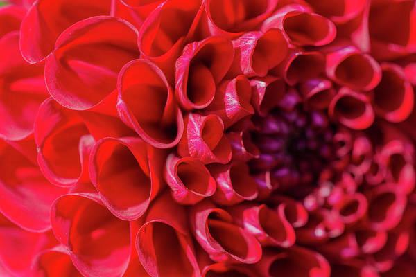 Photograph - Dahlia Study 3 by Scott Campbell