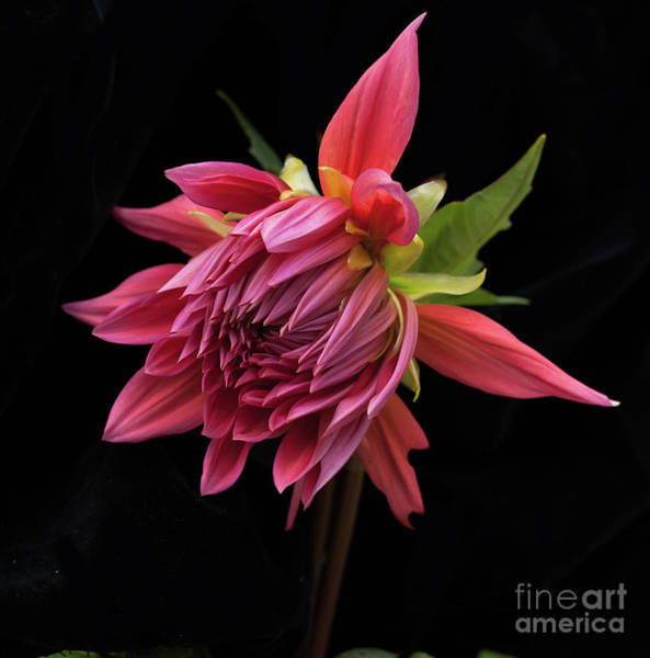 Photograph - Dahlia 'wynn's King Salmon' by Ann Jacobson