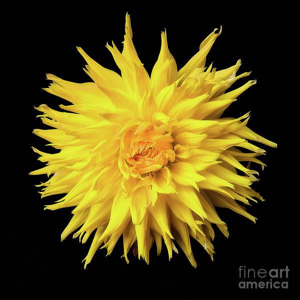 Photograph - Dahlia 'wyn's Sun Dazzler' by Ann Jacobson