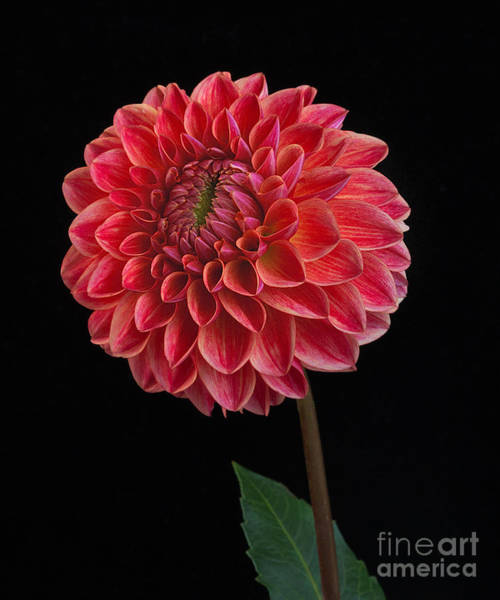 Photograph - Dahlia'all That Jazz' by Ann Jacobson