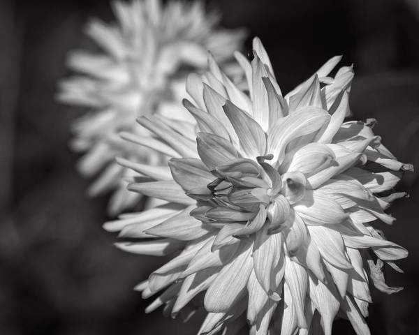 Photograph - Dahlias by Miguel Winterpacht
