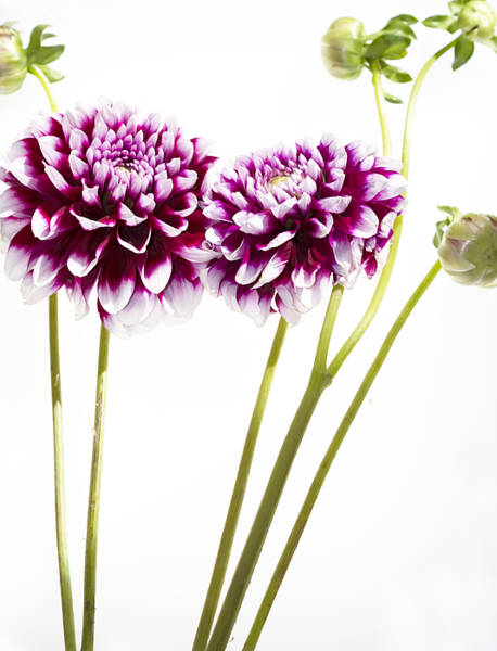 Dahlias Photograph - Dahlias by Rebecca Cozart
