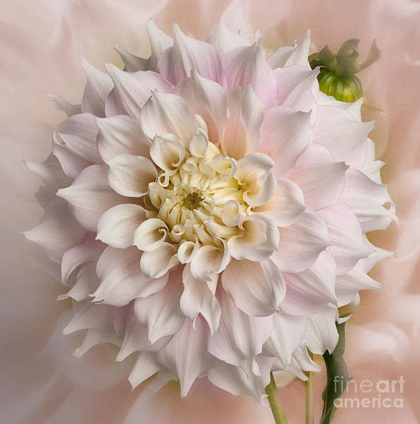 Photograph - Dahllia 'gitts Perfection' by Ann Jacobson