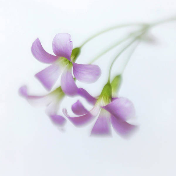 Wall Art - Photograph - Dainty Blooms Of The Purple Shamrock by David and Carol Kelly