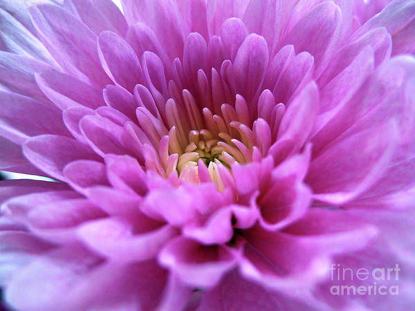 Photograph - Dainty Mum by Kelly Holm