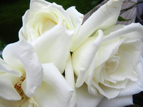 Photograph - Dainty White Rose by Tina M Wenger