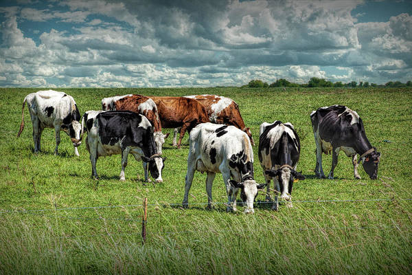 Photograph - Dairy Cattle Grazing In A Pasture In West Michigan by Randall Nyhof
