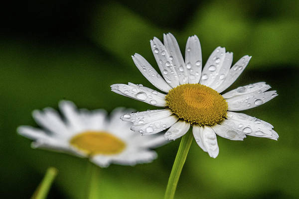 Wall Art - Photograph - Daises In The Rain by Paul Freidlund