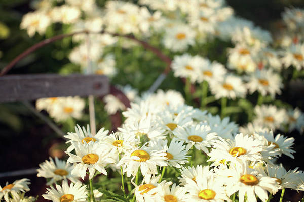 Photograph - Daisies And A Hand Plow by Sue Collura