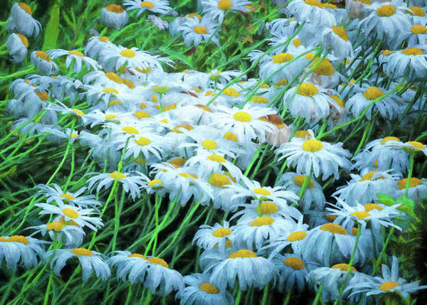 Photograph - Daisies Galore by Tom Singleton