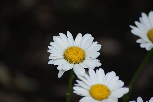 Wall Art - Photograph - Daisies by Heather Green