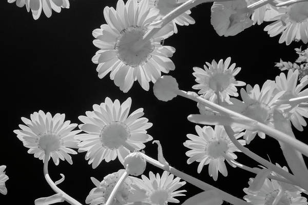 Photograph - Daisies In Infrared by Liza Eckardt