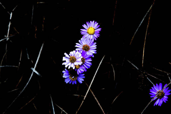 Photograph - Daisies In Purple by Lorraine Devon Wilke