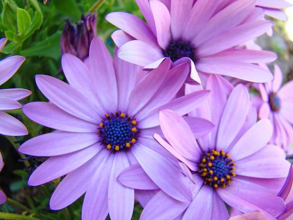 Wall Art - Photograph - Daisies Lavender Purple Daisy Flowers Baslee Troutman by Baslee Troutman