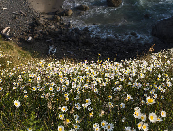 Photograph - Daisies On A Bluff by Robert Potts
