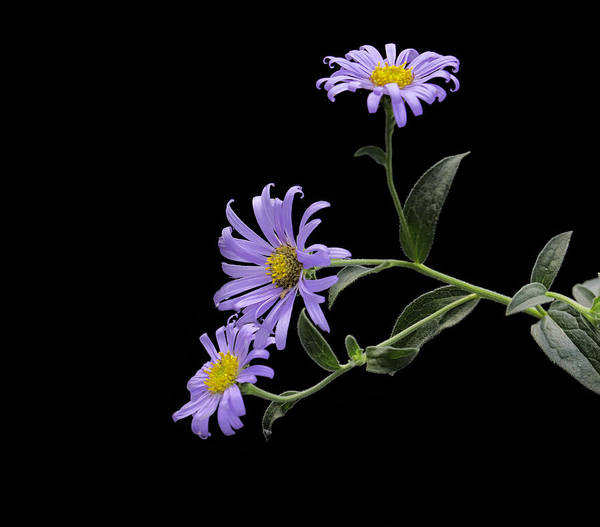 Photograph - Daisies On Black by Jim Dollar