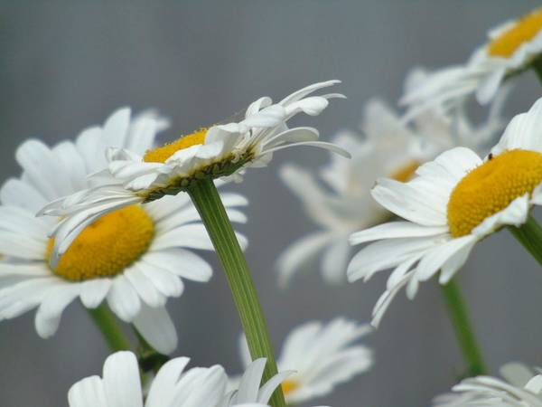 Photograph - Daisies On Mass by Barbara St Jean