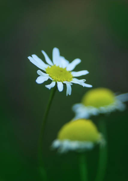 Photograph - Daisy 2 by Rick Mosher
