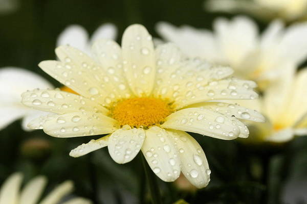 Photograph - Daisy After Shower by Angela Rath