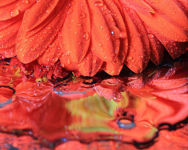 Photograph - Daisy And A Water Puddle by Angela Murdock
