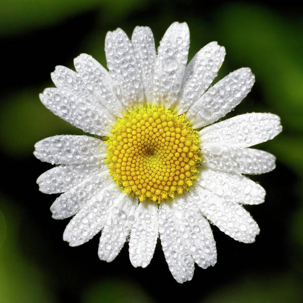 Photograph - Daisy And Dew by Rob Graham