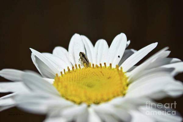 Photograph - Daisy And Leafhopper by Ms Judi