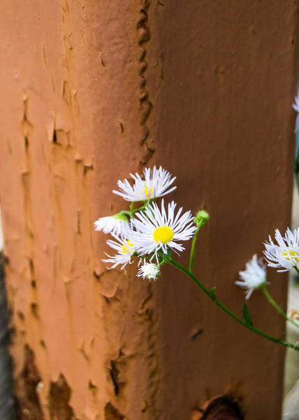 Photograph - Daisy And Rust by Tom Potter