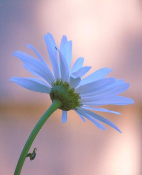 Photograph - Daisy At Dawn by Barbara St Jean